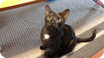Domestic Shorthair Cat for adoption in Smithfield, North Carolina - Bagheera SPECIAL ADOPTION FEE