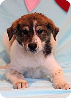 Labrador Retriever Mix Puppy for adoption in Waldorf, Maryland - Odie