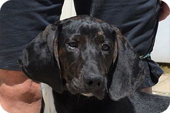 Plott Hound Mix Puppy for adoption in Southbury, Connecticut - Rowdy