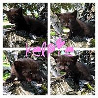 Domestic Shorthair Kitten for adoption in Garden City, Michigan - Kelpie