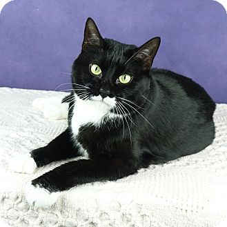 Domestic Shorthair Cat for adoption in Columbia, Illinois - Aya