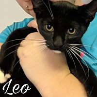 Domestic Shorthair Cat for adoption in Island Heights, New Jersey - Leo