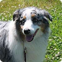 Adopt A Pet :: Opie - Lebanon, CT