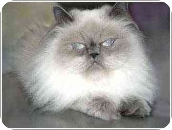 Himalayan Cat for adoption in San Clemente, California - ELIAZBETH