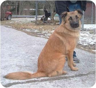 German Shepherd Dog/Collie Mix Dog for adoption in Honesdale, Pennsylvania - Anubis