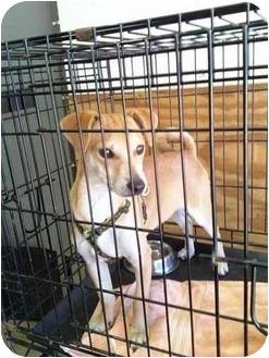 Chihuahua/Shiba Inu Mix Dog for adoption in Marina del Rey, California - Sonny