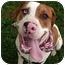 Photo 4 - American Bulldog/St. Bernard Mix Dog for adoption in Sacramento, California - Preston-Moose big boy