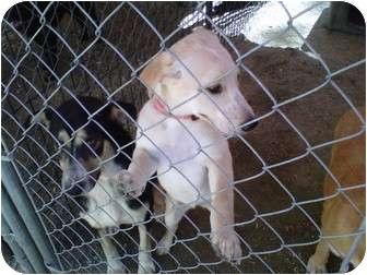 Labrador Retriever Mix Dog for adoption in Henderson, North Carolina - Sugar