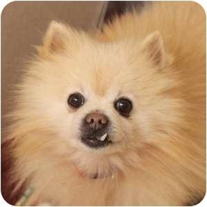 Pomeranian Dog for adoption in Naperville, Illinois - Buddy