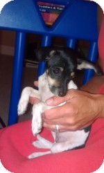 Jack Russell Terrier/Rat Terrier Mix Puppy for adoption in Marlton, New Jersey - Daisy