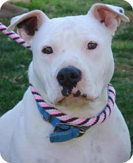 American Pit Bull Terrier Mix Dog for adoption in Red Bluff, California - Bianca $45 Adoption Fee!