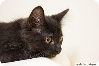 Domestic Mediumhair Kitten for adoption in Mission Viejo, California - Fozzie Bear