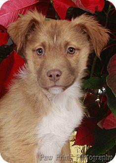 Shepherd (Unknown Type)/Collie Mix Puppy for adoption in Kalamazoo, Michigan - Waldo - Joanne