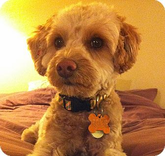 Miniature Poodle/Maltese Mix Dog for adoption in Los Angeles, California - Chablis