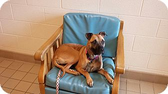 Shar Pei Mix Dog for adoption in Jackson, Michigan - Daisy