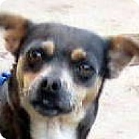 Adopt A Pet :: Cheerio - Oakley, CA