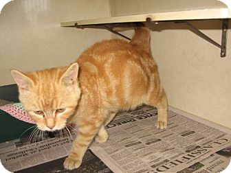 Domestic Shorthair Cat for adoption in Tyner, North Carolina - Missy