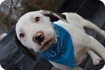 American Bulldog/Mountain Cur Mix Puppy for adoption in Brattleboro, Vermont - Sidney