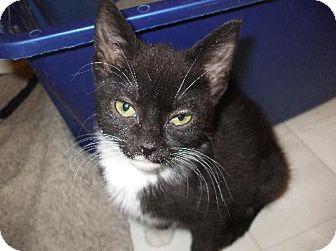 Domestic Shorthair Kitten for adoption in Lenexa, Kansas - Valerie