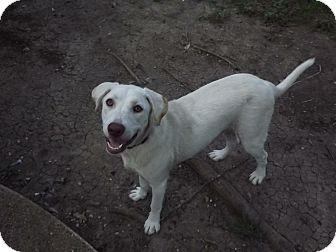 Labrador Retriever Puppy for adoption in Austin, Texas - AJ