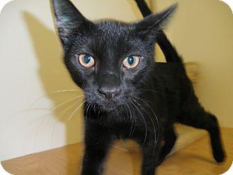 Domestic Shorthair Cat for adoption in Milwaukee, Wisconsin - Paczki