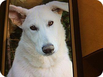 German Shepherd Dog Puppy for adoption in Los Angeles, California - YUKON VON KUNIBERT