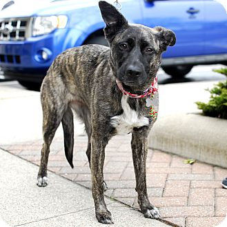 Shepherd (Unknown Type)/Dutch Shepherd Mix Dog for adoption in Detroit, Michigan - Rosalie aka Rosie-Adopted!