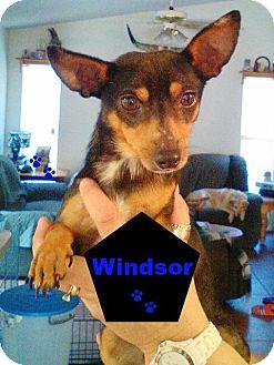 Chihuahua/Miniature Pinscher Mix Dog for adoption in Sanford, Florida - Windsor
