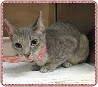 Domestic Shorthair Cat for adoption in Marietta, Georgia - MAGGIE
