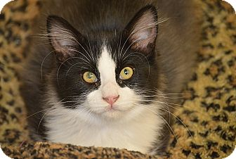 Domestic Mediumhair Kitten for adoption in San Leon, Texas - Spencer