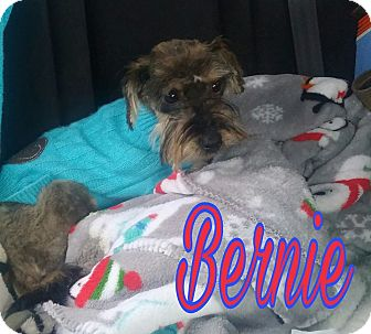 Miniature Schnauzer/Yorkie, Yorkshire Terrier Mix Dog for adoption in Union City, Tennessee - Bernie