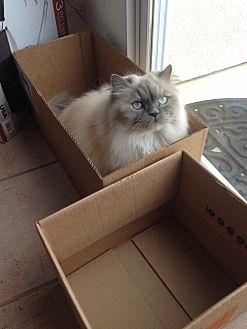 Himalayan Cat for adoption in Laguna Hills, California - Buster