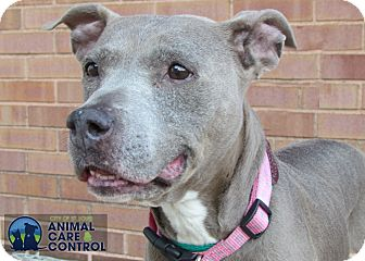American Pit Bull Terrier Mix Dog for adoption in St. Louis, Missouri - Jupiter