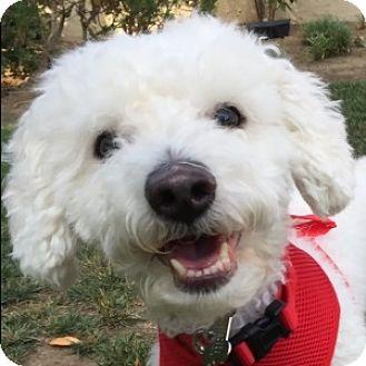 Bichon Frise Mix Dog for adoption in La Costa, California - Pluto