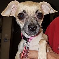 Chihuahua/Pug Mix Puppy for adoption in Yukon, Oklahoma - Pip
