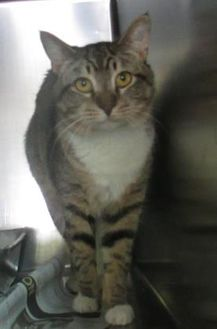 Domestic Shorthair/Domestic Shorthair Mix Cat for adoption in Rockingham, North Carolina - Hobo