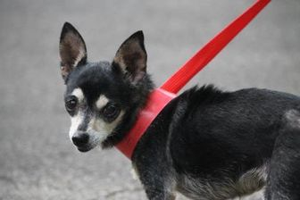 Chihuahua Mix Dog for adoption in Gainesville, Florida - Sandy