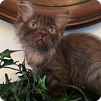 Adopt A Pet :: Coco - Taylor, MI