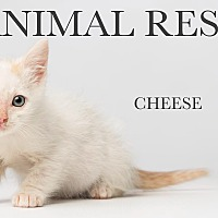 Adopt A Pet :: Cheese - Los Angeles, CA