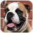 Photo 1 - Boxer/English Bulldog Mix Dog for adoption in Los Angeles, California - Barney