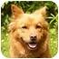 Photo 1 - Finnish Spitz/Corgi Mix Dog for adoption in Mocksville, North Carolina - Mindy