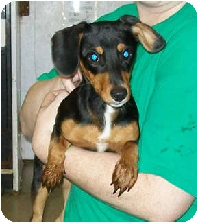 Dachshund Mix Puppy for adoption in Murphysboro, Illinois - Susie