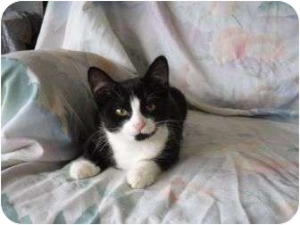 Domestic Shorthair Kitten for adoption in Plymouth, Massachusetts - Mary