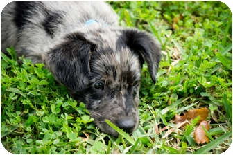 Catahoula Leopard Dog/Dachshund Mix Puppy for adoption in Houston, Texas - Logan