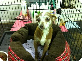Chihuahua Mix Dog for adoption in Lexington, Kentucky - Granny