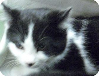 Domestic Shorthair Kitten for adoption in Fairborn, Ohio - Violet-Schindler Litter