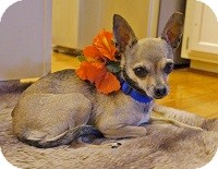 Chihuahua Mix Dog for adoption in AUSTIN, Texas - LEELA