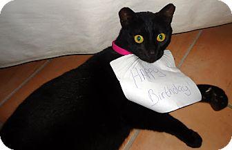 Domestic Mediumhair Cat for adoption in Alexandria, Virginia - PJ