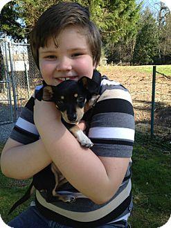 Chihuahua/Dachshund Mix Puppy for adoption in Seattle, Washington - Baxter