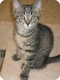 Domestic Shorthair Kitten for adoption in Bloomsburg, Pennsylvania - Eva